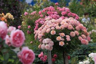 Важные советы по созданию розария!