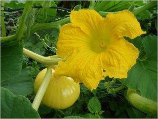 Вредители тыквенных растений